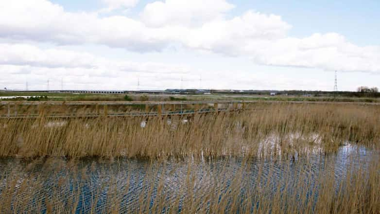 Reedbeds in the foreground screen a new section of boardwalk giving access to the nature reserve.